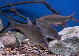 a další sladkovodní ryby